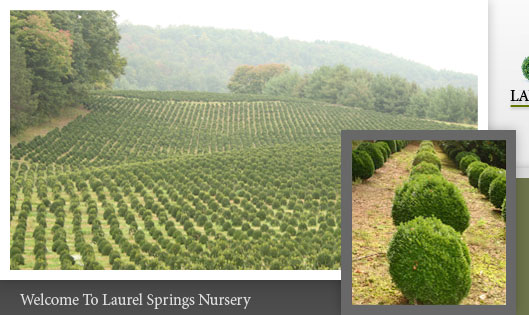 North Carolina Nursery - Boxwood Shrubs For Sale